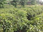 Чанша - новый договор на поставку отличных чаев