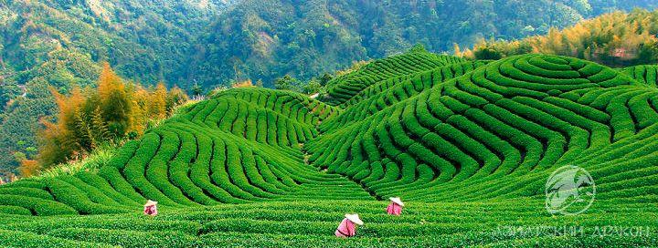 плантация-чая-улун2