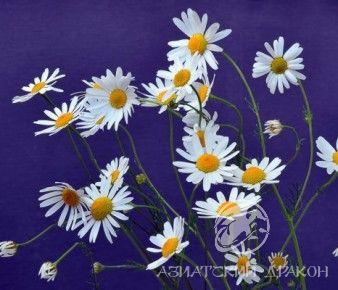 depositphotos_28147153-stock-photo-german-chamomile-flowers-matricaria-chamomilla